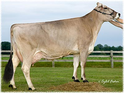 براون سوییس/Brown swiss/